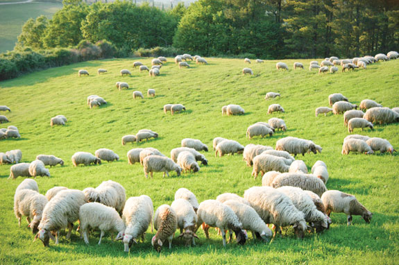 Make Pasture And Forages Work For Sheep Progressive Forage