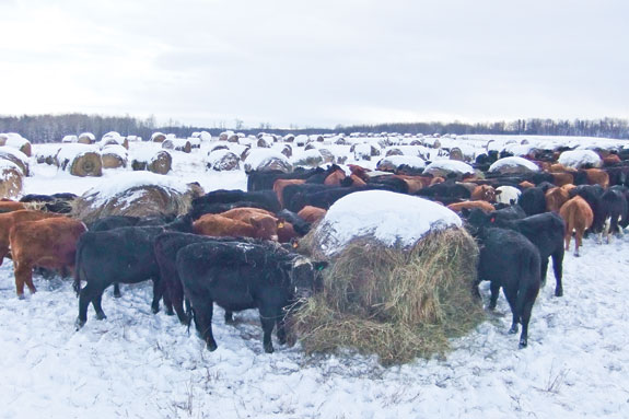 cattle with round bales