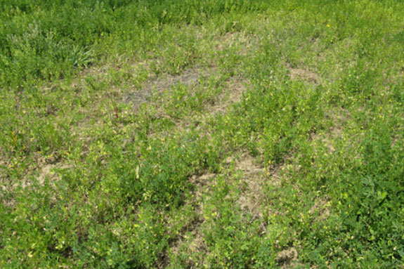 Alfalfa patch boron deficiency