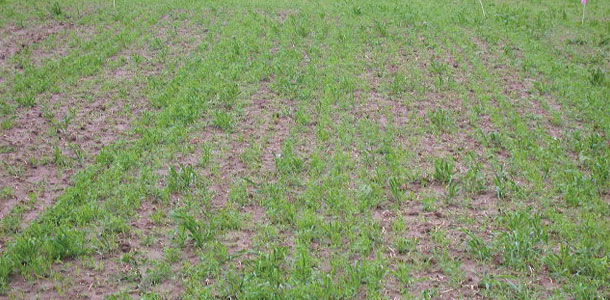 A Few Points On Establishing Alfalfa Progressive Forage