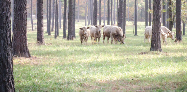 Grazing in pine-based silvopasture