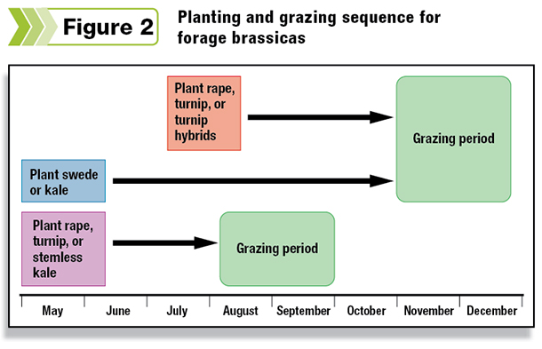Planting and grazing sequesnce for forage brassicas