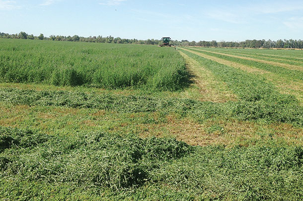 cutting alfalfa