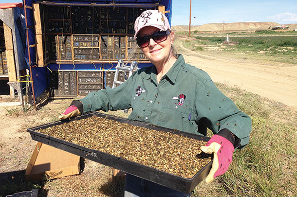 Renee Lewis with a tray of leaf-cutter bees