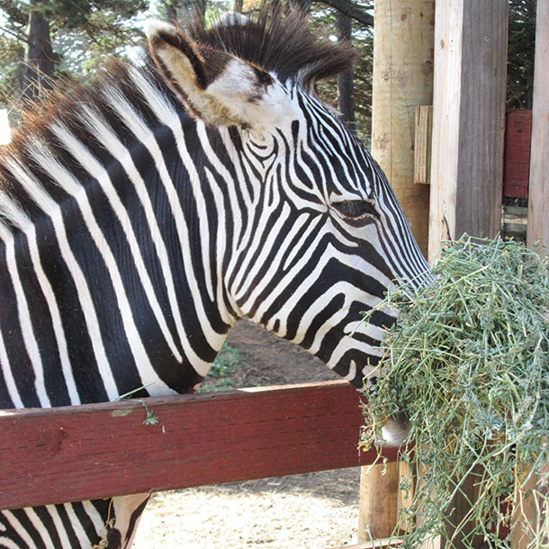 Zebra enjoying some alfalfa