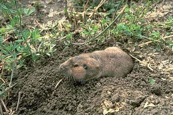 Rodents like gophers tend to avoid wet environments