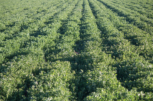 Alfalfa is a popular legume