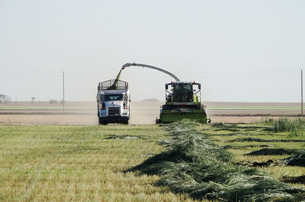 Chopping tritlcale in Western Kansas