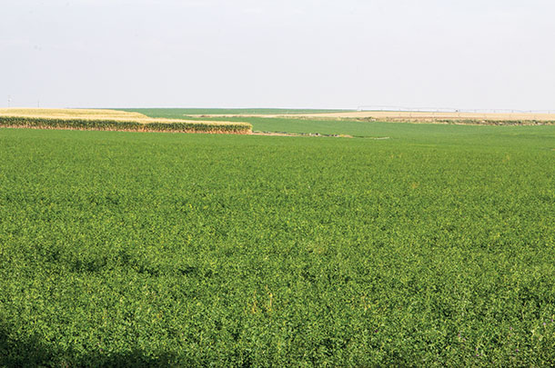 A field of alfalfa