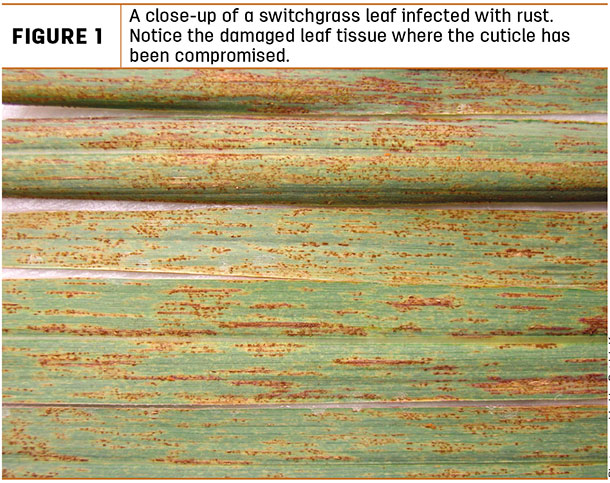 A close-up of a switchgrass leaf infected with rust