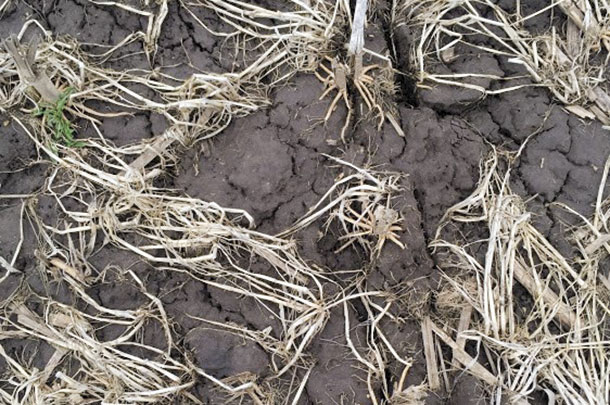 Barley residue is shown in the spring after the field a fall low-disturbance manure injection