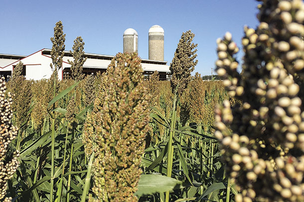 Image result for Silage Sorghum Seed