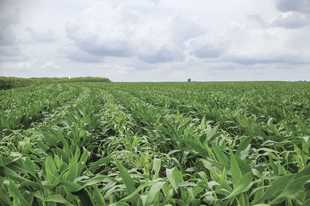 Corn and sorghum-sudangrass are planted side by side