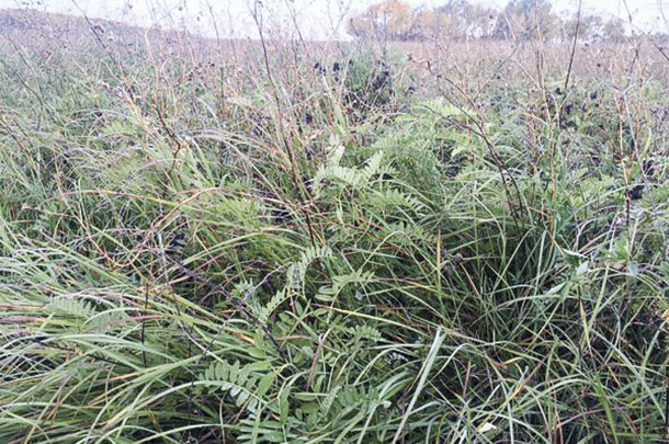 A forage mix including cicer milkvetch, alfalfa, meadow brome and some native grasses.