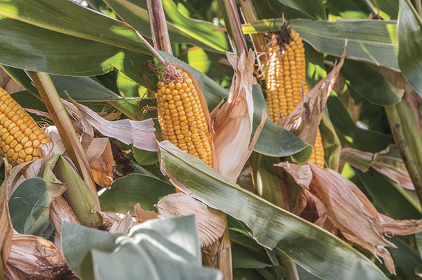Corn hybrids for silage