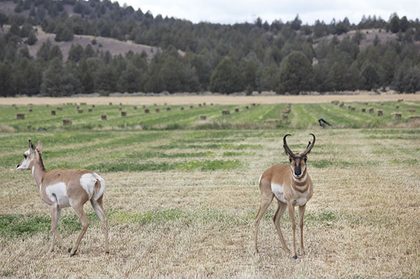 Elk, deer and antelope are also a problem during the growing seasons