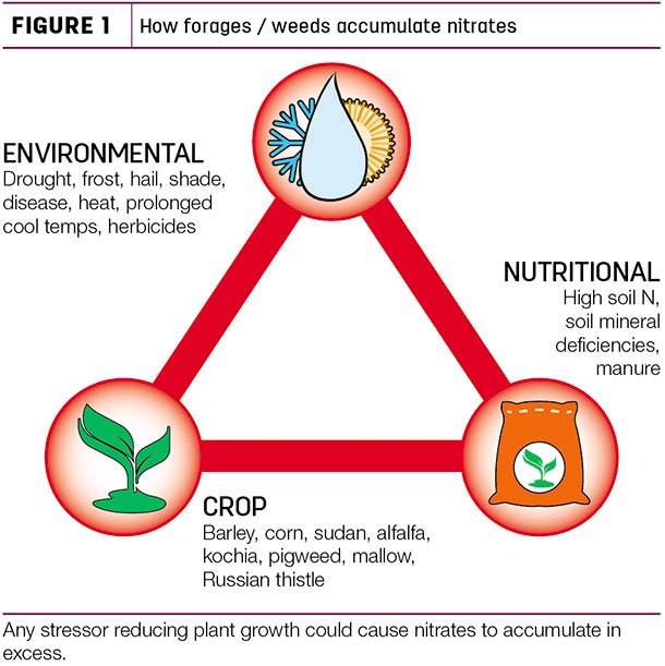 How forages/weeds accumulate nitrates