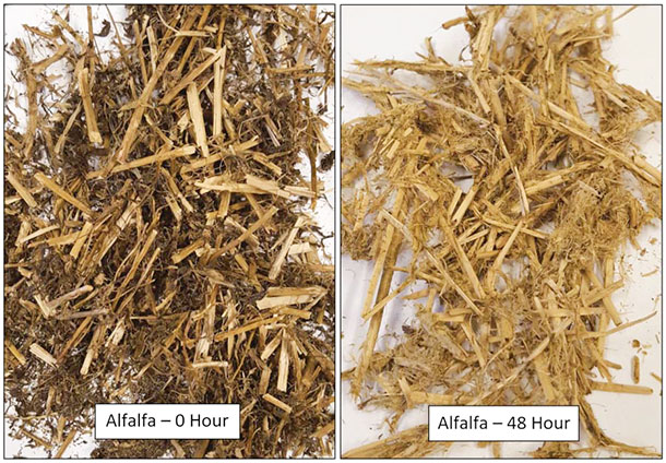 alfalfa silage after 0 hours and 48 hours in the rumen