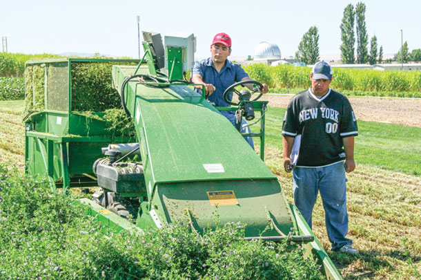 Interns harvest alfalfa hay for research