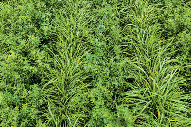 Kernza grain with alfalfa and wheatgrass