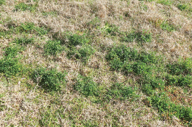 Deep Grass Graziers second year stand of Bulldog 805 alfalfa interseeded with Tifton 85 bermudagrass