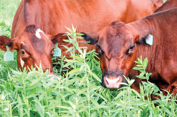 With protein levels between 22% and 28% sunn hemp can be a valuavle grazing crop for cows