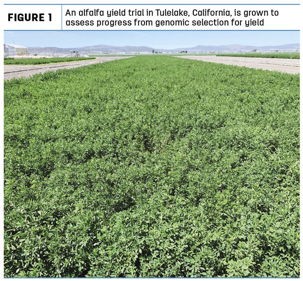 An alfalfa yield trail in Tulelake, California is grown to assess progress from genomic selection for yield