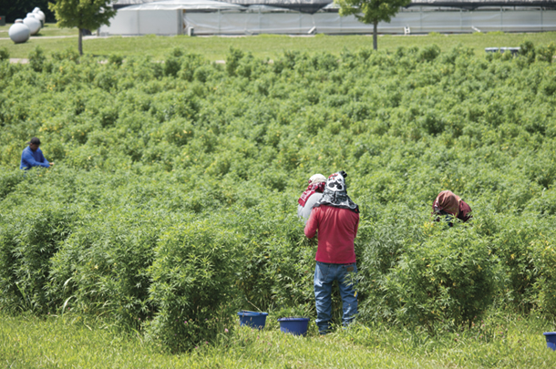 Workers in the hemp plant