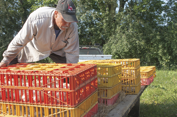 "Loading chicks into a ""Chicken tractor"" which is pulled around the pasture daily"