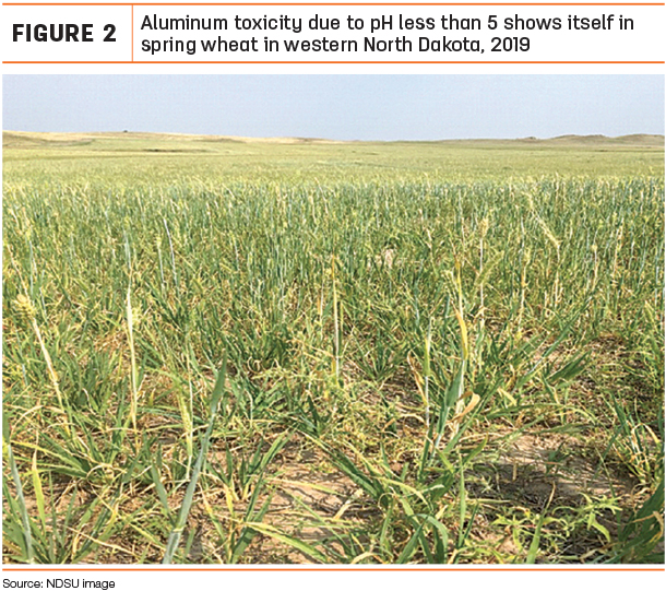 Aluminum toxicity due to pH less than 5 shows itself in spring wheat in western North Dakota, 2019