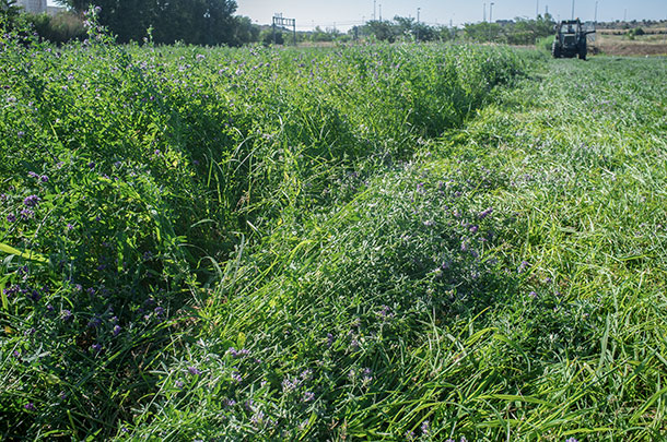alfalfa-grass mixture