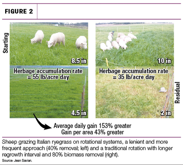 Sheep grazing Italian ryegrass on rotation systems